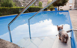 Dog and pool. Dog thinking about taking a dip in the pool royalty free stock photography