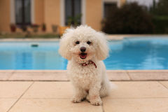 Dog by the pool. Curly white dog sitting with his tongue hanging out by the pool Stock Photo