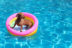 Dog in pool. Dog on airbed in the pool Royalty Free Stock Photography