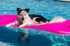 Dog on pool float. Border Collie Australian Shepherd mix dog lying on a pink inflatable float in a blue swimming pool looking relaxed, happy, goofy, funny, cute Royalty Free Stock Images