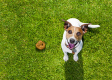 Dog poop on grass in park. Jack russell dog guilty for the poop or shit on grass and meadow in park outdoors Royalty Free Stock Images