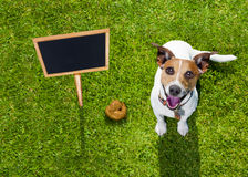 Dog poop on grass in park. Jack russell dog guilty for the poop or shit on grass and meadow in park outdoors , banner placard sign to the side as blackboard Royalty Free Stock Photos