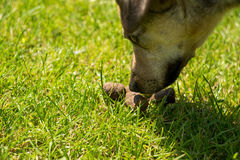 Dog poop. Dog smelling her own poo in the grass Stock Photos