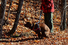 Dog pooping. Chocolate Labrador Retriever on leash pooping in forest Royalty Free Stock Image