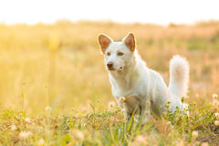 Dog pooping in the park. White dog pooping in the park Stock Photos