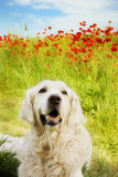 Dog with poppies. Golden retriever dog lying in a meadow with red poppies stock images