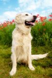 Dog with poppies. Golden retriever dog sitting in a meadow with red poppies stock image