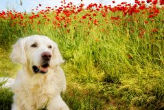 Dog with poppies Stock Photo