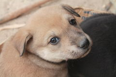 Dog poppy chiangmai thailand Stock Image