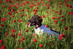 Dog and poppy field. Dog on the beautuful poppy field Royalty Free Stock Images