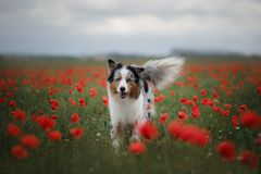 Dog in a poppy field. Australian Shepherd in colors. Active pet in nature Royalty Free Stock Photography