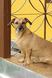 Dog on the porch Royalty Free Stock Images