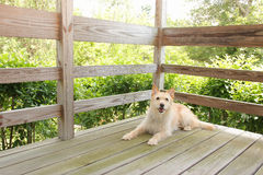 Dog on porch. Dog relaxing on deck porch outdoors Royalty Free Stock Photos