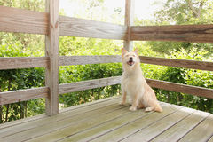 Dog is on the porch. Dog smiles while sitting on the deck Royalty Free Stock Image