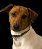 Dog portrait. Portrait of a Jack Russell stock images