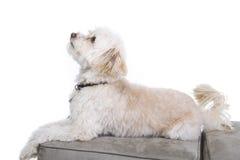 Free Dog Portrait Stock Photography - 12498882