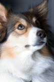 Dog Portrait. Glamour shot of a great looking Sheltie Stock Photography