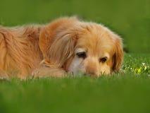 Dog portrait Royalty Free Stock Image