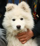 A dog portrait. Portrait of a three mounts old Samoyed dog looking at the camera close up shot Stock Photos