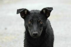 Dog portrait. Portrait of a black dog Royalty Free Stock Images