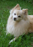 Dog Portrait. Not sure if he's a Spitz or a Pomeranian - you decide stock photos