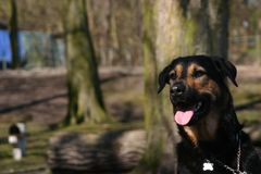 Dog portrait. Black and tan dog on a warm day Royalty Free Stock Photo