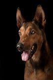 Dog portrait. Pet portrait of a belgian malinois isolated on black Stock Images