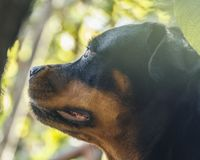 Dog portrait adult rottweiler attentive serious look. Portrait of a mature rottweiler dog, close up attentive serious look stock photo