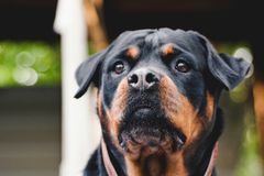 Dog portrait adult rottweiler attentive serious look natural background. Portrait of a mature rottweiler dog, close up attentive serious look , full face stock image