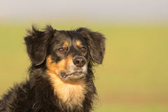 Dog Portrait. A portrait of a dog with attentive glance Stock Photo