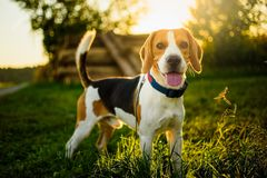 Dog portrait back lit background. Beagle with tongue out in grass during sunset. In fields countryside royalty free stock photos