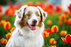 Dog portrait on the background of blooming tulips. Portrait  Australian Shepherd against a background of flower beds with red and orange tulips Stock Photography