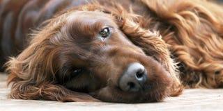 Dog portrait banner Royalty Free Stock Photos