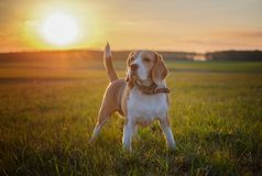 Dog portrait Beagle on a spring walk in a field. In sunset stock image