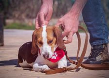 Beagle dog portrait stock photos