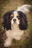 Dog Portrait. A beautiful Cavalier King Charles dog looking at the camera Royalty Free Stock Images