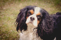 Dog Portrait. A beautiful Cavalier King Charles dog looking at the camera Stock Photo