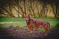 Dog Portrait. A beautiful Dog Portrait at the edge of the forest Royalty Free Stock Image