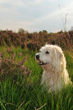 Dog portrait. Beautiful portrait of a young blond labradoodle dog, sitting in the flowering heather on a dutch moor. Picture taken at sunset Royalty Free Stock Photos