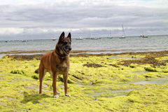 A dog in portrait. A Belgian shepherd at the edge of the ocean Royalty Free Stock Image
