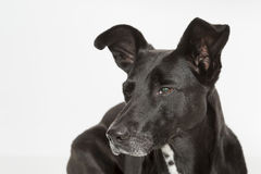 Dog Portrait Royalty Free Stock Photo