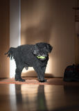 Dog portrait. Black Dog playing at home Royalty Free Stock Image