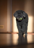 Dog portrait. Black Dog playing at home Royalty Free Stock Images