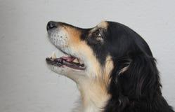 A dog portrait Stock Images
