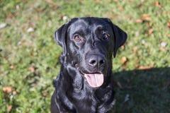 Dog portrait, blanco labrador on lawn background Royalty Free Stock Image
