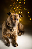 Dog portrait; bokeh background Royalty Free Stock Image