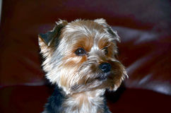 Dog portrait. Portrait of a dog breed York Royalty Free Stock Image