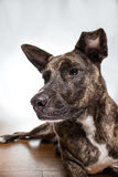 Dog portrait. A brindle colored dog gazing Royalty Free Stock Images