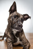 Dog portrait. Brindle colored dog giving a cute look Stock Images