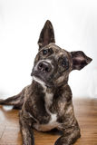 Dog portrait. Brindle colored dog giving a quizzical look Stock Photography